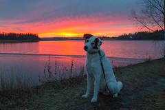 Lucky vid Hannäs (uzetterlund) Tags: dog sunset fryken hund värmland