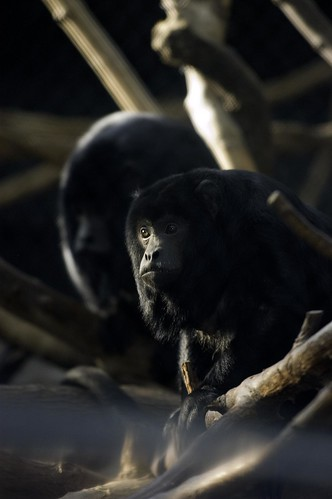 Black Howler Monkey | Lincoln Park Zoo