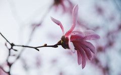 Spring in Cluj-Napoca (bortescristian) Tags: pink 2 flower canon photography eos photo spring foto fotografie mark picture romania april magnolia imagine 5d dslr tamron cristian mk aprilie cluj clujnapoca roumanie 2014 poza magnolie primavara || bortes bortescristian cristianbortes