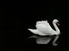Swan Lake (alanpeacock2) Tags: blackandwhite reflection water birds swan swanlake swansong