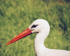 beauty (candlelight_killer) Tags: nature beautiful dof bokeh natur depthoffield stork marl