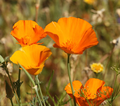 2014 04 21 Tohono Chul Park 034 (GaryS42) Tags: arizona flower tucson tucsonarizona tohonochulpark