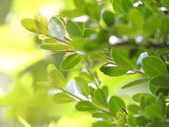 DSCN2007 (TehOblivious) Tags: sun plant nature outside outdoors leaf nikon glow bokeh coolpix glowing leafs tehoblivious