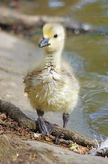 Gosling Portrait 2