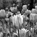Tulips in B+W