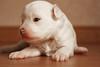 Molly as a pup (mdmaphotos) Tags: baby cute puppy newborn cuteness chinesecrested powderpuff photosbyat mdmaphotos
