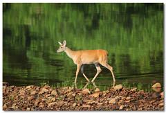 Morning Swim (Tustin Designs) Tags: nature water june river wildlife doe deer 2014 southwesternpa dailynaturetnc12