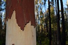 trunk (dustaway) Tags: tree forest bark trunk treebark shedding