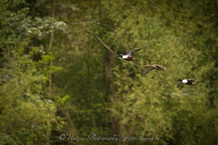 slobeend / northern shoveler (nature photography by 3620ronny.be) Tags: nature birds canon belgium belgie vogels natuur northernshoveler vogel limburg naturephotography natuurfotografie slobeend canon7d overstromingsgebied 3620ronny overwinteringsgebied hochterbampd canonef300mmlf4