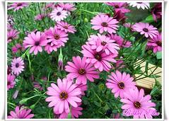 Ninguna es igual aunque lo parezca (ℝakel_ℰlke ﴾͡๏̯͡๏﴿) Tags: flower fleur spain europa europe flor rosa raquel lila murcia blomma bunga blume tiare fiore blüte espagne elke margaritas mediterráneo virág violeta bulaklak spanje ua lore rakel xay bloem lill spania blóm çiçek kwiat espainia blodau espinardo lule moradas kukka kembang цвет цветок cvijet λουλούδι sbaen ispanija espanja ดอกไม้ zieds spanyolország hispaania кветка gėlė květina kvetina floare цвете spanyol квітка blütezeit spanja sepanyol स्पेन španija španielsko ισπανία spáinn spānija шпанија ծաղիկ olympusfe340 rakelelke murcianorte ubaxa