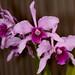 C. purpurata – Phyllis Prestia