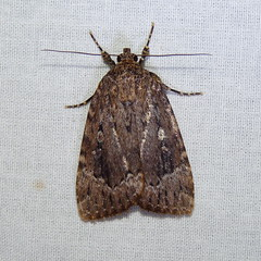 Copper Underwing (Dendroica cerulea) Tags: summer insect newjersey moth nj lepidoptera noctuidae amphipyrinae highlandpark arthropoda invertebrate insecta hexapoda fav10 middlesexcounty amphipyrini noctuoidea amphipyra copperunderwing amphipyrapyramidoides nationalmothweek