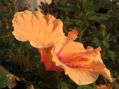 Hibiskus-Blüte (fotoculus) Tags: flowers flores fleur germany deutschland flora blumen hibiscus hibiskus saar rheinlandpfalz saarburg irsch