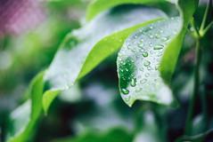 June Rains (riacale) Tags: city plants philippines monsoon storms quezon rains
