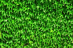 ivy plant pattern (Mimadeo) Tags: plants plant green texture nature floral leaves wall garden botanical leaf flora pattern natural outdoor background decoration grow ivy foliage growth covered hedge vegetation backdrop growing creeper botany textured bindweed climbingplants