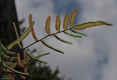 A Long Way Up (Bonnie Ott) Tags: pellaeaatropurpurea purplecliffbrake fern ferns sidelinghillcreek potomacriver sidelinghill bonniecoatesott