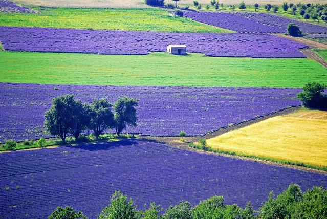 lavender provence lavande champ sault vaucluse aurel lavenderfield champdelavande