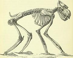 Anglų lietuvių žodynas. Žodis sacral vertebra reiškia kryžkaulio slankstelio vidurį, taip pat lietuviškai.