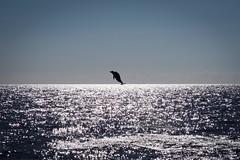 Jumping Dolphin (Lens Daemmi) Tags: sunset portugal jumping sonnenuntergang dolphin olympus whalewatching delphin 2014 springend lobosonda epl6 autonomeregionmadeira marlislismad