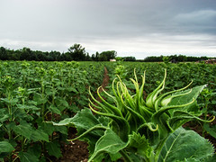 Campo de girasoles (Vladi Viktorova) Tags: sunflower campo capullo girasol cultivo