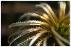 Clematis. (brianac37) Tags: flower macro clematis seedhead
