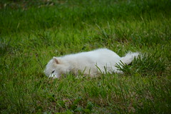 """Jag Wants To Snooze In the Grass • <a style=""""font-size:0.8em;"""" href=""""http://www.flickr.com/photos/96196263@N07/14794940295/"""" target=""""_blank"""">View on Flickr</a>"""