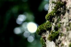 Day 12 - Bokeh Moss (AmbitiousJam) Tags: tree green nature canon moss bokeh day12 100daysofnature