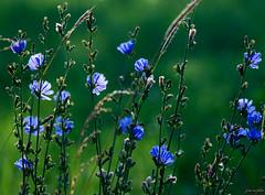 morning blue light ~ wild chicory ~ Huron River and Watershed (j van cise photos) Tags: blue flower field dof blossom bokeh michigan afsnikkor70200mmf28gedvrii nikond7100 pressltoenlarge