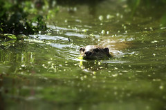 Otter Day 47 #100DaysofNature (riggy-riggo) Tags: summer nature animals kent wildlife otters canon70300mm deborahr