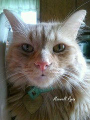 Maxwell my fur baby (krixxxmonroe) Tags: cat photography ryan d handsome monroe maxwell ira my krixx