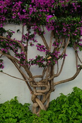 Nus (Ricard RP) Tags: tree arbol knot catalunya arbre costabrava nus cadaques nudo