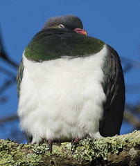 Sleepy Kereru (Ruahine Tramper) Tags: newzealand bird native sleep pigeon kereru waiheke