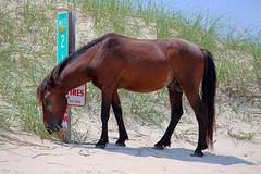 Wild Horses Of Corolla (ajm349) Tags: horse outerbanks hdr corolla wildhorses carovabeach wildhorseofcorolla