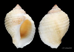 2 Nucella lapillus. Height 25mm, breadth 17.4mm. West coast of Hoy, Orkney (Atlantic fetch over 3000km). July 1973.