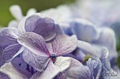 Hydrangea (danilodld) Tags: blue flower macro nature hydrangea hdr ortensia dld 2014