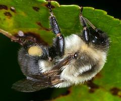 Sleeping Bumble Bee (ScreaminScott) Tags: macro bugs bumblebee lesterdine105mmmacrolens lesterdineminiringpointlight
