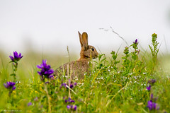 Rabbit (Oryctolagus cuniculus) (BiteYourBum.Com Photography) Tags: blue rabbit heritage nature scotland aberdeenshire natural reserve scottish national montrose canonef1740mmf4lusm ipad stcyrus oryctolaguscuniculus canonefs60mmf28macrousm scottishnaturalheritage biteyourbum canoneos7d appleipad dawnandjim canonspeedlite430exii saintcyrus sigma50500mmf4563dgoshsm loweproprorunner350aw biteyourbumcom camranger stcyrusnationalnaturereserve