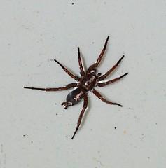 Parson spider (r.rebensdorf13) Tags: spider parsonspider herpyllus