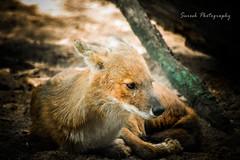 Fox (Suresh V Raja) Tags: zoo nikon fox chennai suresh vandaloor guindynationalpark vandaloorzoo