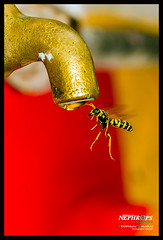 guepe vespula (aziouezmazouz) Tags: nature colours ngc soe insecte vespula fantasticnature thebeautyofnature 100commentgroup