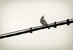 Oriundo de Valdelamusa (Mathias Bra) Tags: bird monochrome monocromo cable pajaro
