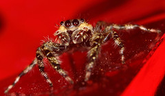 Tan jumping spider ? - Catskill Mountains, NY (superpugger) Tags: jumpingspider spiders lawrencepugliares lpugliares