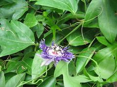 Passiflora (mani_bhaskar23) Tags: flowers passiflora