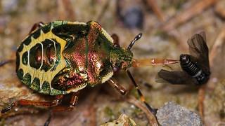 bronze shieldbug, Troilus luridus, nymph with prey