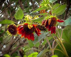 End of the Season (mahar15) Tags: flowers red flower nature garden petals seedhead sunflowers chiantihybrid