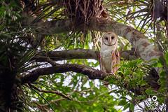 Barn Owl - Tyto alba (Jorge De Silva R) Tags: barnowl tytoalba lechuza simadelascotorras jorgesilva fotografiadenaturaleza avesdechiapas