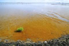 Kan zeewier voor nieuw leven zorgen? (Harm Weitering) Tags: water natuur brak dollard zeewier termunten slib kwelder reidehoeve ontmoetinglandenzee zeewierteelt eensdollard zeewierboerderij