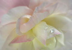 Pale Begonia. (Yvette-) Tags: pink flower pale macromondays nikkorf28105mm nikond5100
