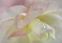 Pale Begonia. (Yvette-) Tags: pink flower pale macromondays nikkorf28105mm nikond5100