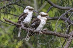 Laughing Kookaburras 2014-09-14 (_MG_5327) (ajhaysom) Tags: australia melbourne australianbirds dacelonovaeguineae laughingkookaburra greenvale canoneos60d sigma120400 woodlandshistoricpark